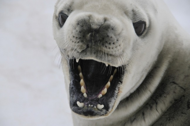 crabeater-seal-541832_1920