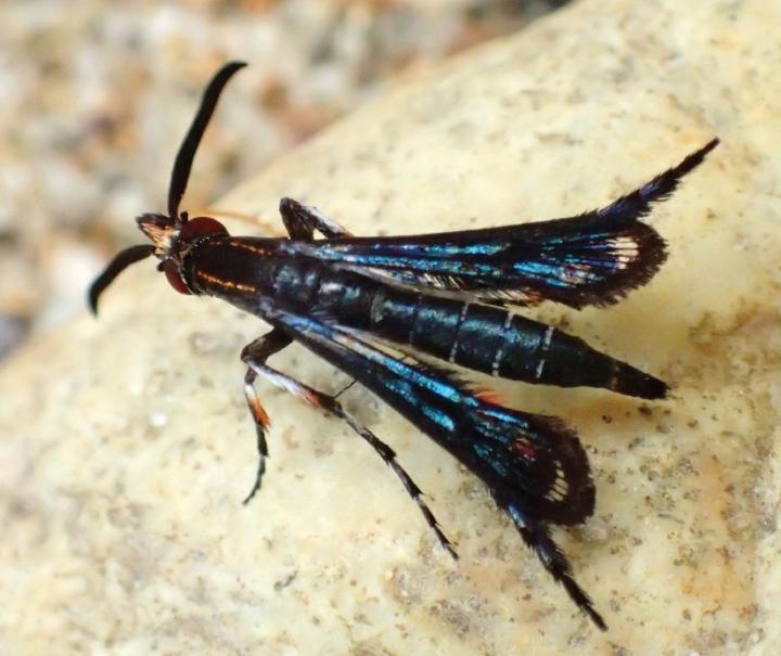Pyrophleps ellawi